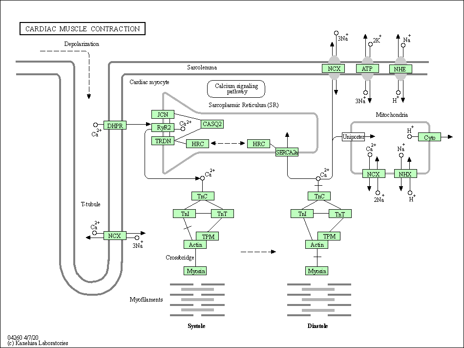 Kegg Pathway Cardiac Muscle Contraction Alligator
