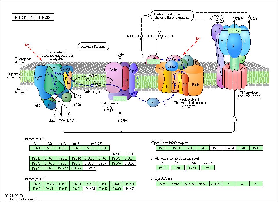 Kegg pathway photosynthesis arabidopsis thaliana thale cress ccuart Choice Image