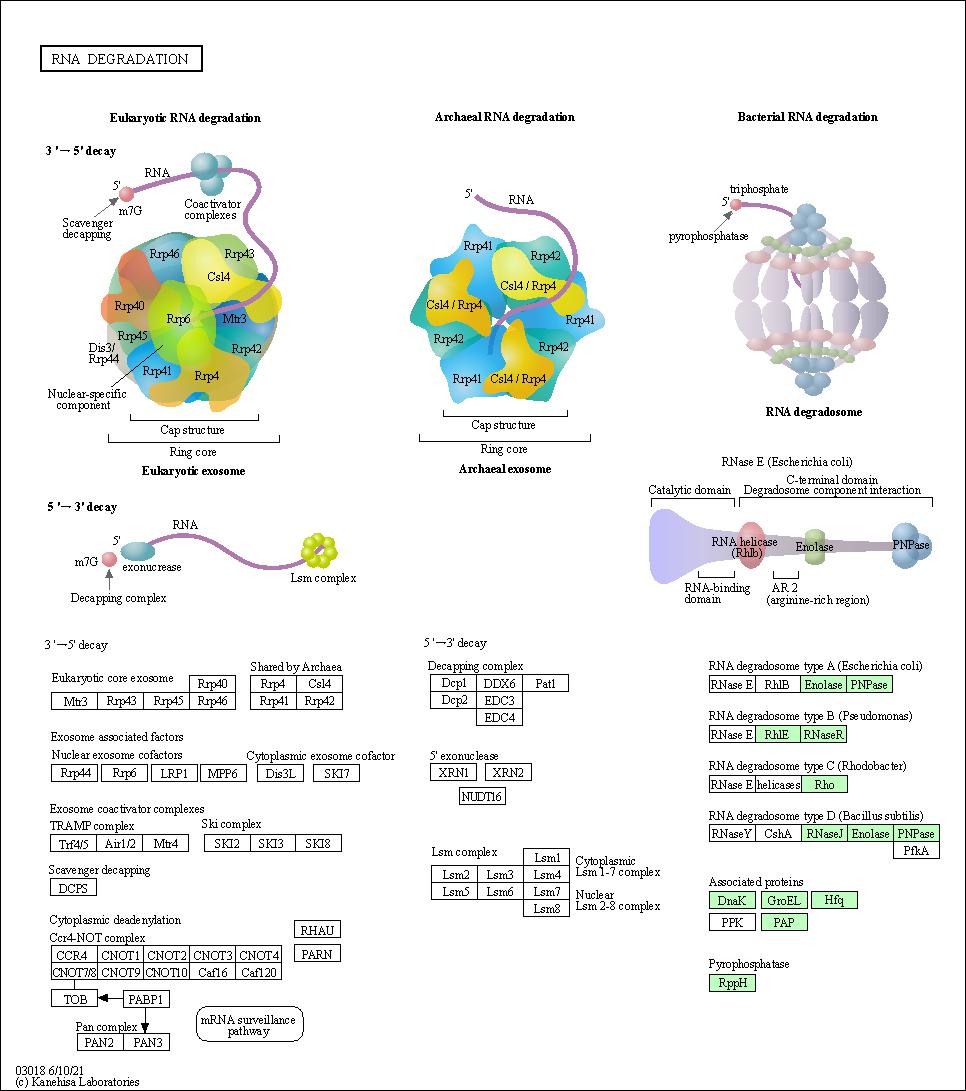 KEGG PATHWAY: RNA degradation - Bartonella bacilliformis