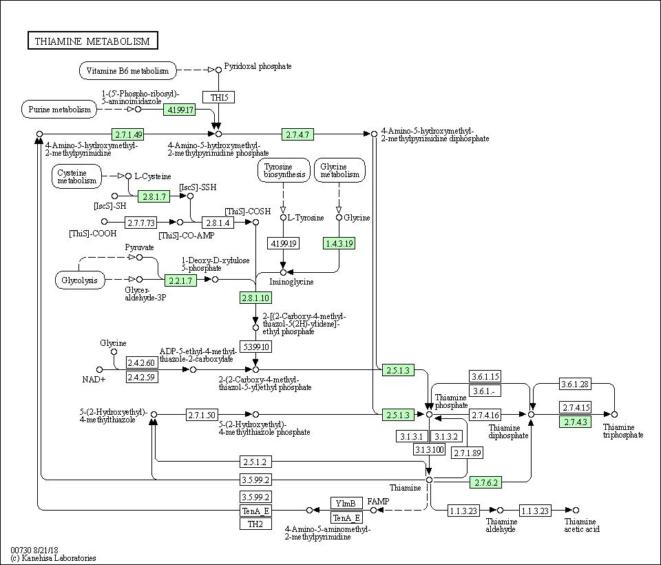 KEGG PATHWAY: Thiamine metabolism - Bartonella quintana Toulouse
