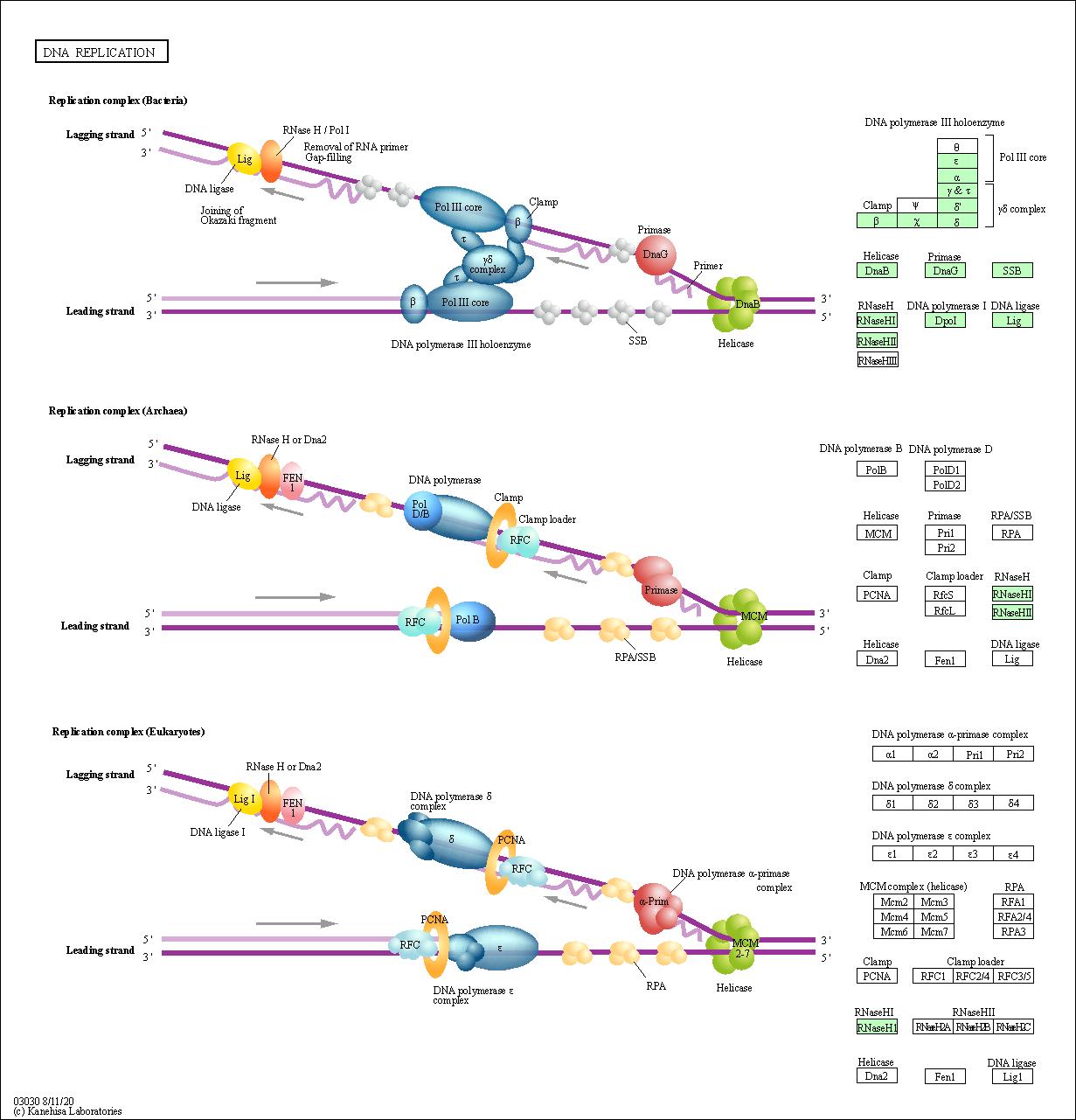 KEGG PATHWAY: DNA replication - Bartonella quintana Toulouse