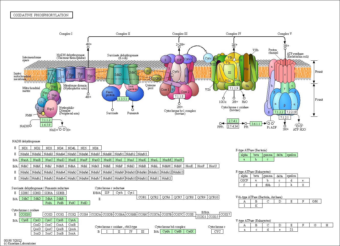 Kegg Pathway  Oxidative Phosphorylation