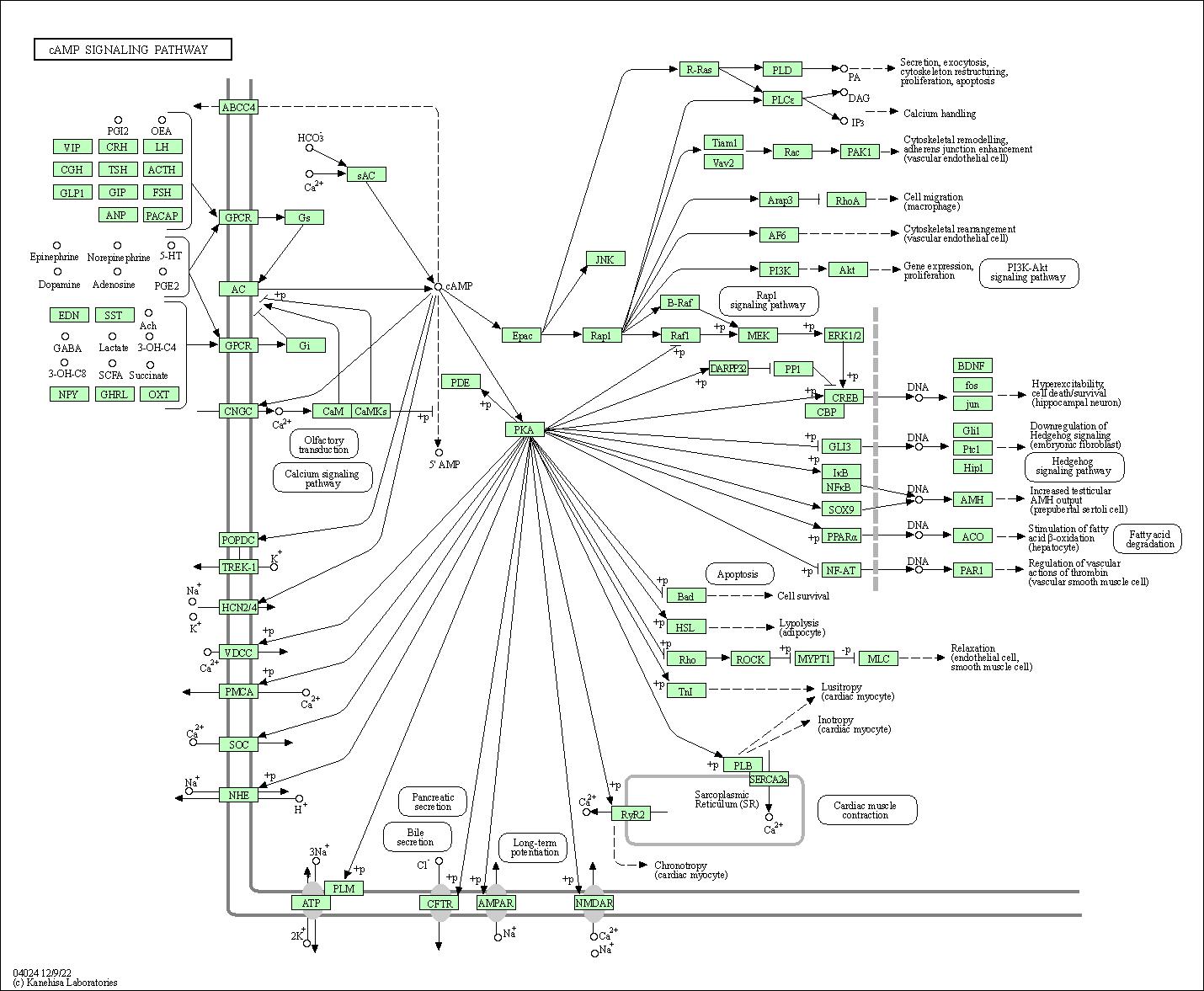 gpcr activation pathway