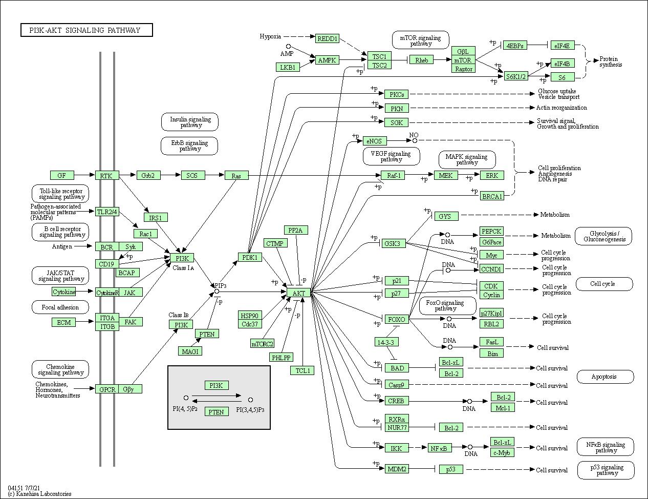 KEGG PATHWAY: PI3K-Akt signaling pathway - Homo sapiens (human)