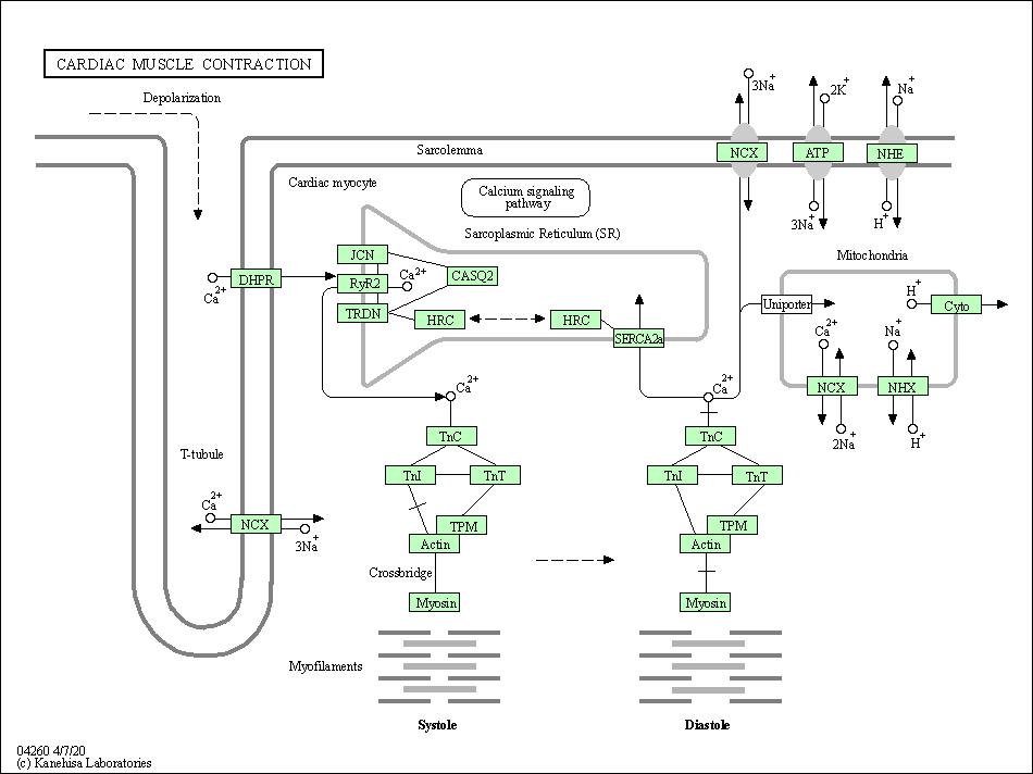 Kegg Pathway Cardiac Muscle Contraction Homo Sapiens Human