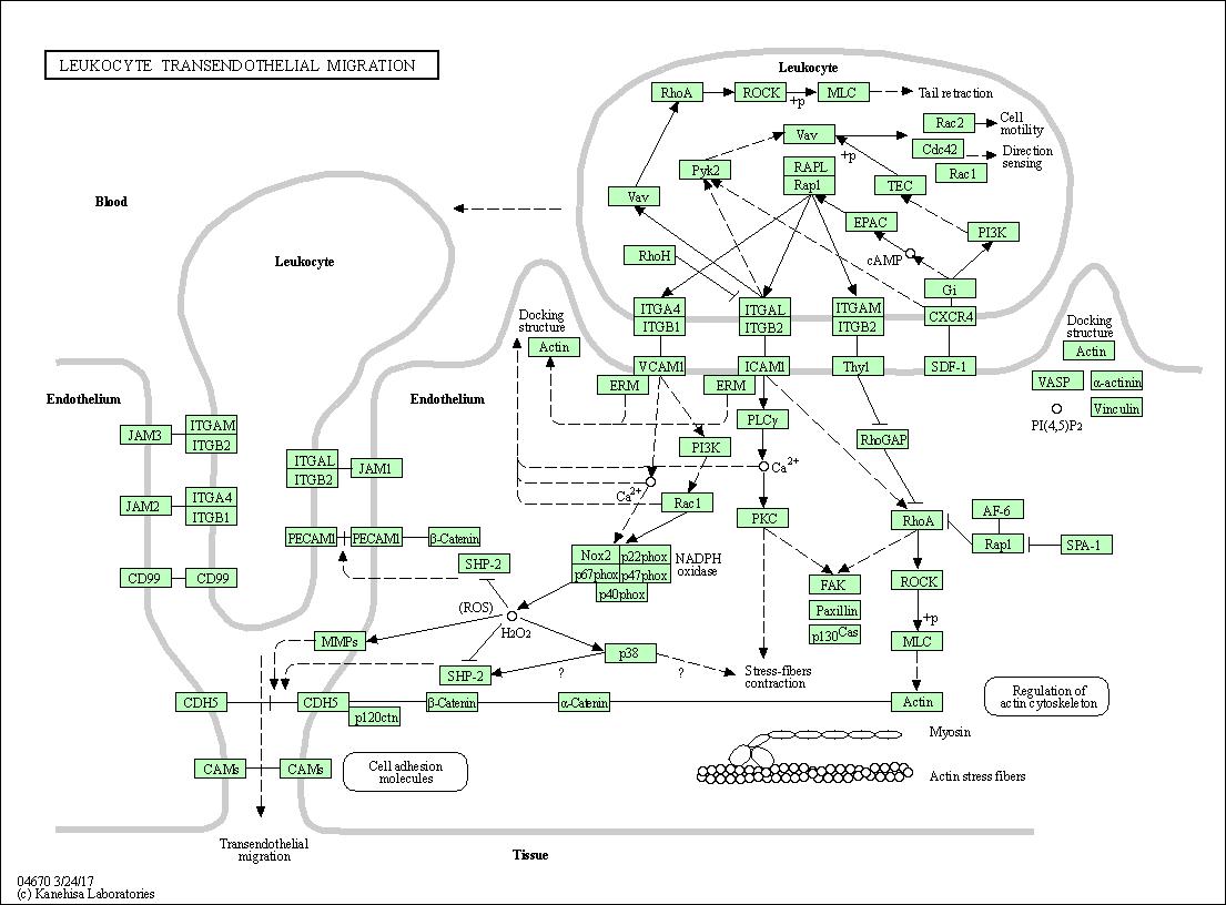 KEGG PATHWAY: Leukocyte transendothelial migration - Homo sapiens ...