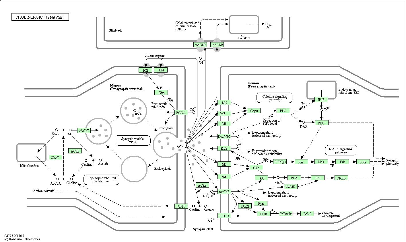 kegg pathway  cholinergic synapse