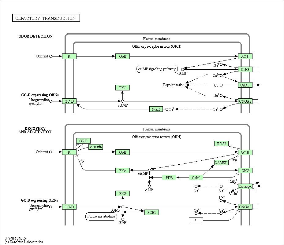 KEGG PATHWAY: Olfactory transduction - Homo sapiens () on gene drawing, gene testing, gene editing, gene concept map, gene technology, gene science, gene biology, gene identification, gene cloning, gene linkage,