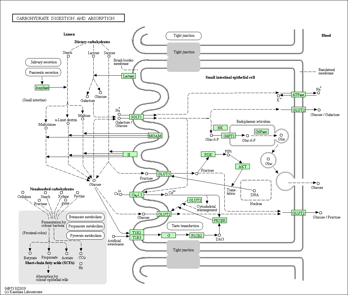 Kegg Pathway Carbohydrate Digestion And Absorption Homo Sapiens