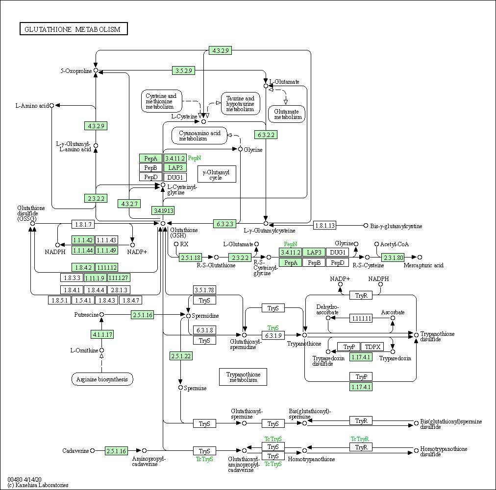 082836b6f48c KEGG PATHWAY  Glutathione metabolism - Ictalurus punctatus (channel catfish)