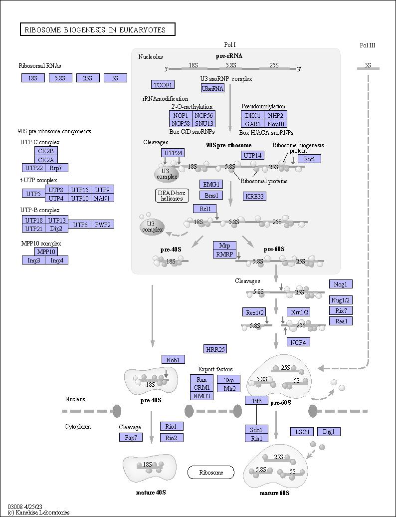 Kegg Pathway Ribosome Biogenesis In Eukaryotes