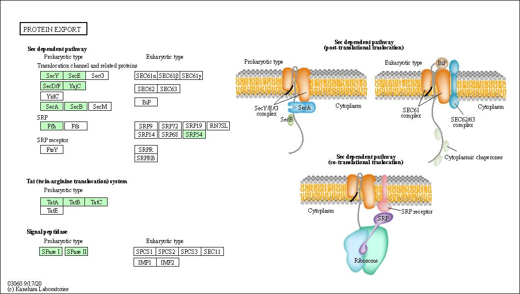 KEGG PATHWAY: Protein export - Marinobacter salarius