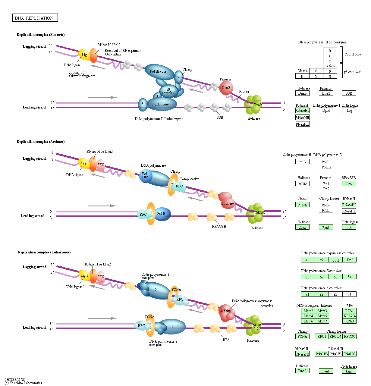 KEGG PATHWAY: DNA replication - Neurospora crassa