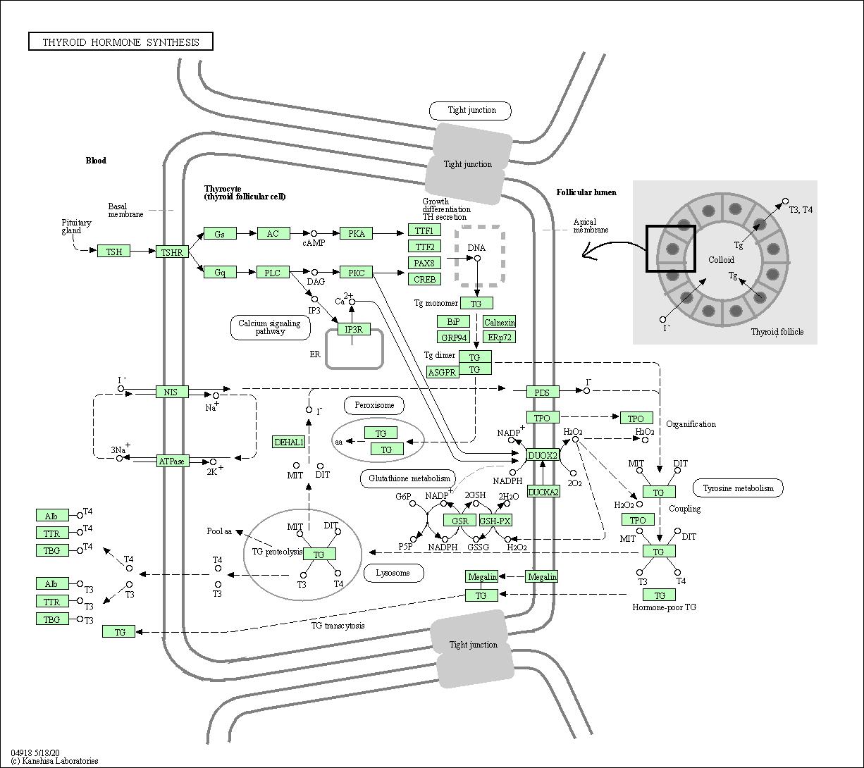 Kegg Pathway Thyroid Hormone Synthesis Nomascus Leucogenys