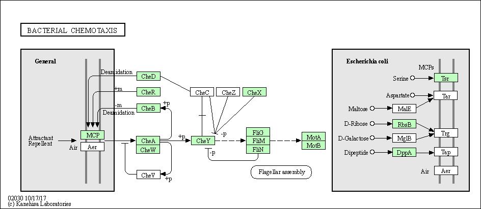Kegg pathway bacterial chemotaxis rhizobium leguminosarum bv kegg pathway bacterial chemotaxis rhizobium leguminosarum bv trifolii cb782 ccuart Choice Image