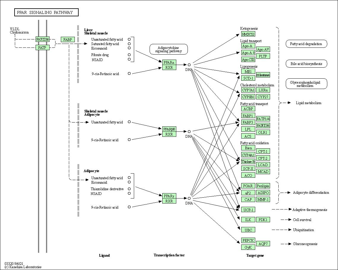 KEGG PATHWAY: PPAR signaling pathway - Rattus norvegicus (rat)