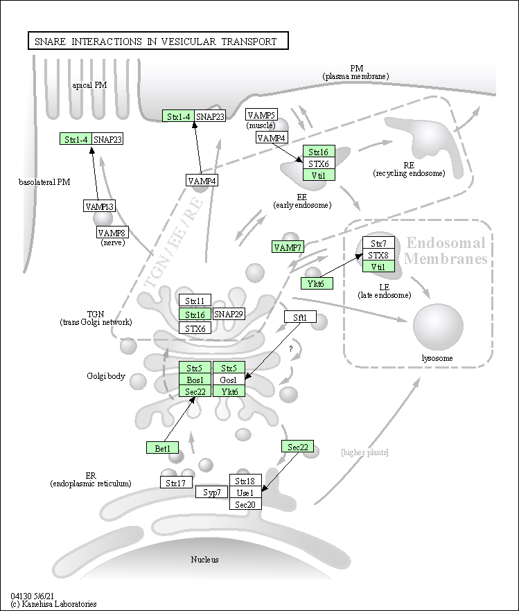 Kegg Pathway Snare Interactions In Vesicular Transport Toxoplasma